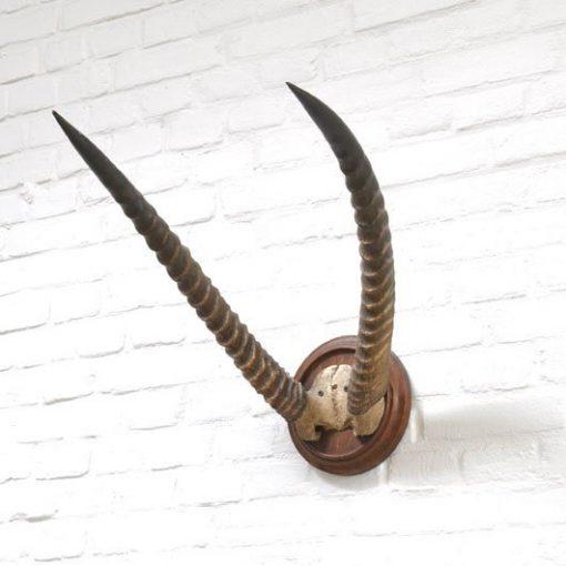 WH07. Hoorns Gazelle, Afrika - Gratis verzending NL